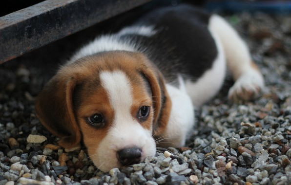 Picture look, dog, muzzle, puppy, lies, puppy, dog, little, looking, beagle