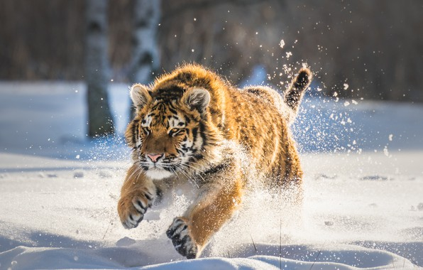 Picture winter, snow, tiger