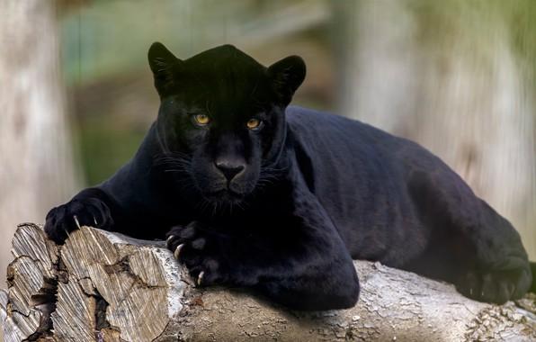 Picture look, Jaguar, wild cat, black Panther