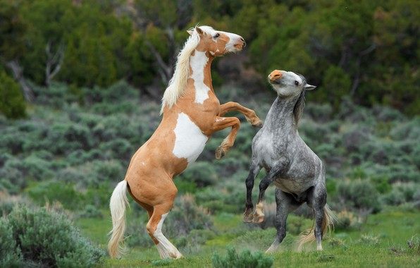 Picture nature, horses, horse, two, reared