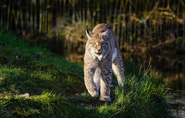 Picture grass, look, light, nature, pose, green, background, shore, walk, lynx, wild cat, pond