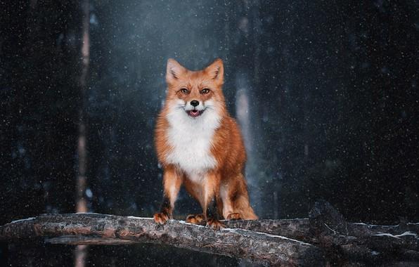 Picture look, snow, background, Fox, red, Natalia Ponikarova