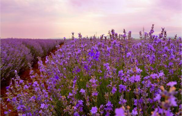 Picture Lavender, Lavender, Field, Lavender field