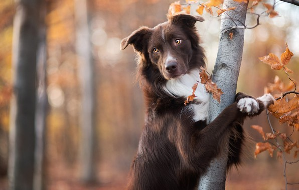 Picture autumn, forest, look, face, leaves, branches, pose, Park, background, tree, portrait, dog, paws, beauty, brown, …