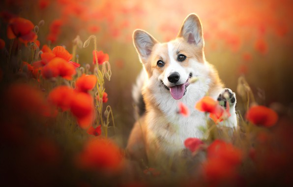 Picture language, flowers, Maki, dog, face, bokeh, doggie, foot, Welsh Corgi