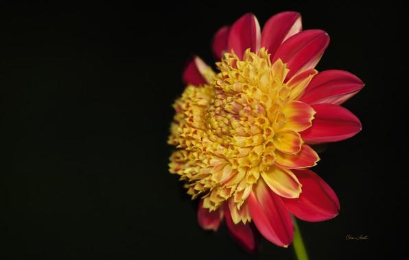 Picture flower, background, black background, Dahlia