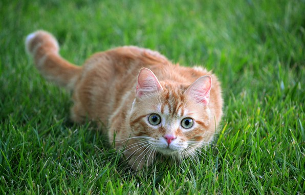 Picture cat, summer, grass, cat, look, face, nature, pose, background, glade, portrait, red, hunter, though