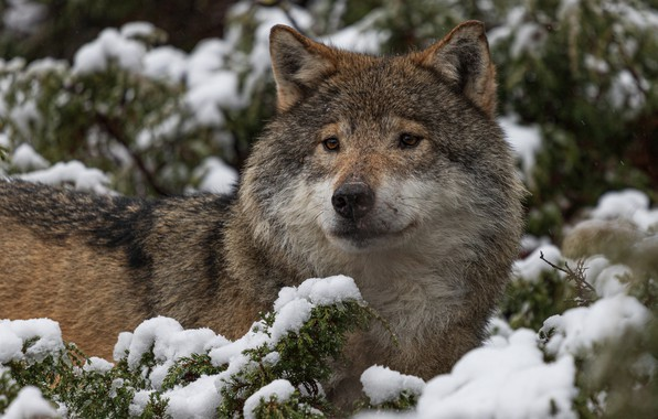 Picture winter, look, face, snow, branches, nature, grey, thickets, wolf, portrait, needles