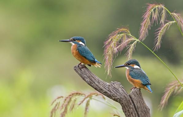 Picture birds, beak, chick, Kingfisher