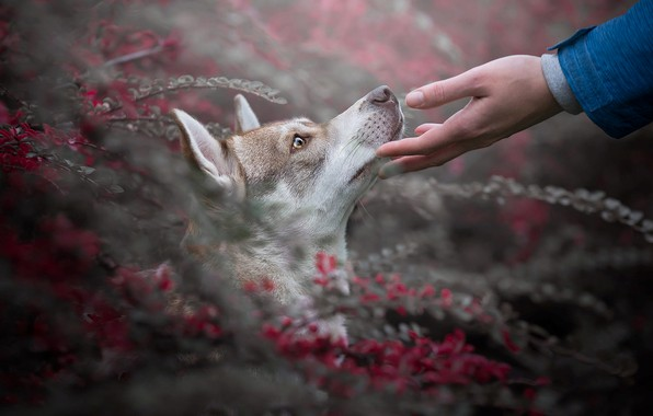 Picture look, branches, nature, animal, hand, dog, head, profile, husky, dog