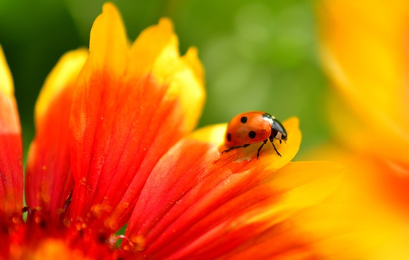 Picture flower, summer, macro, red, background, ladybug, beetle, petals, insect
