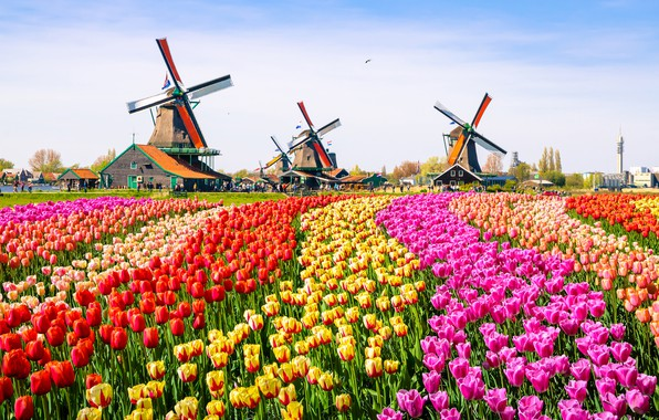 Picture colors, birds, tulips, tourists, mills