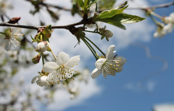 Picture the sun, flowers, heat, spring, may, flowering, white flowers, blue sky