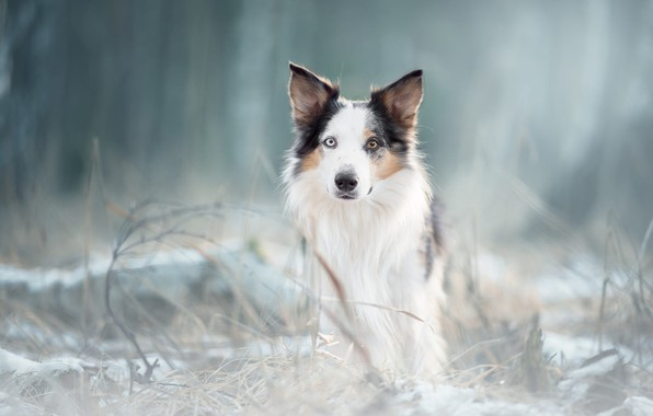 Picture winter, frost, forest, grass, look, face, nature, Park, background, portrait, dog, light, white, shepherd, blurred, …