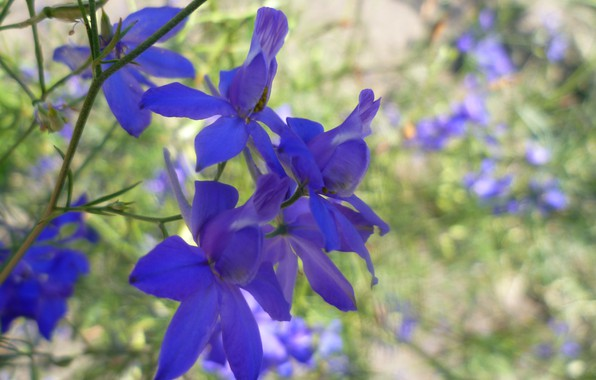 Picture Flowers, Wallpaper, Blue, Belarus, I have