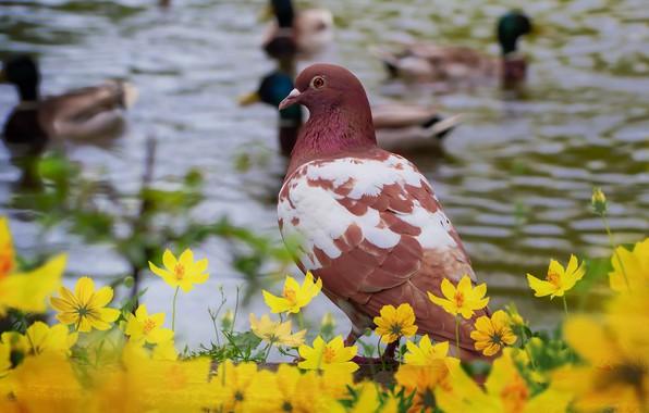 Picture look, water, flowers, birds, bird, shore, dove, duck, yellow, brown, pond, bokeh, blurred background, motley, …
