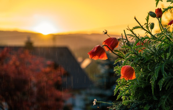 Picture the sun, light, sunset, flowers, house, rain, Maki
