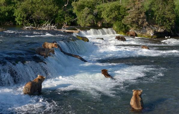 Picture river, fishing, waterfall, bears, Alaska, bathing, Alaska, Katmai National Park, The Katmai national Park, Brooks …