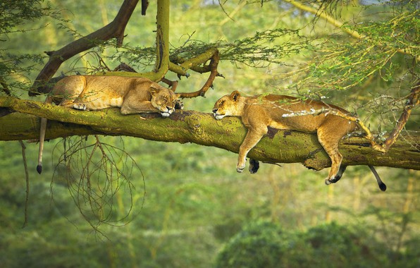 Picture trees, animals, nature, situation, branch, sleeping, wildlife, Lions, rest, big cats, depth of field, feline
