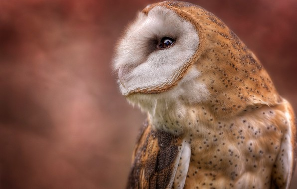 Picture background, owl, bird, portrait, profile, the barn owl