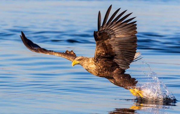 Picture Eagle, bird, water, wings, feathers, water drops, animal, reflection, bald eagle, water splash, depth of …