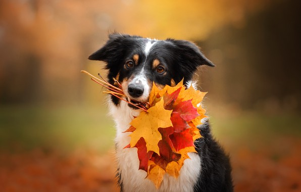 Picture autumn, face, leaves, dog, maple leaves, bokeh, Ekaterina Kikot, Boder collie
