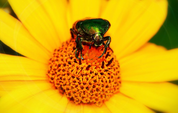 Picture flower, summer, macro, yellow, green, background, beetle, petals, insect, brilliant, brantovka, brantovka Golden