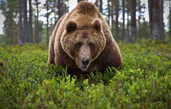 Picture forest, look, face, bear, beast, The Bruins, Alexander Perov