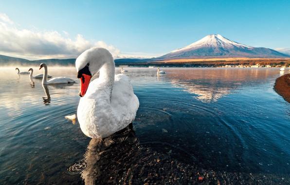Picture swan, sunset, mountain, lake, snow, dawn