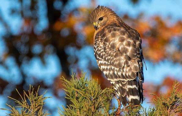 Picture autumn, branches, bird, needles, hawk, predatory, bokeh, Buzzard