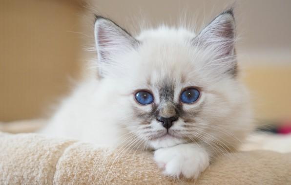 Picture look, portrait, muzzle, kitty, blue eyes, Burmese