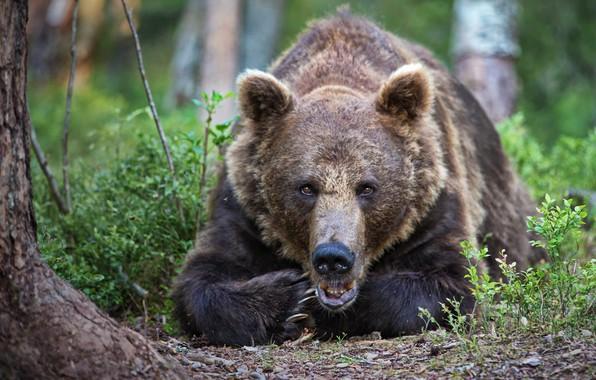 Picture summer, look, nature, pose, animal, predator, bear, brown, Alexander Perov
