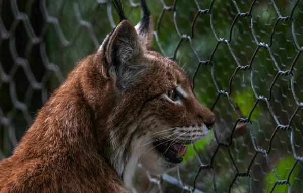 Picture face, predator, lynx, zoo