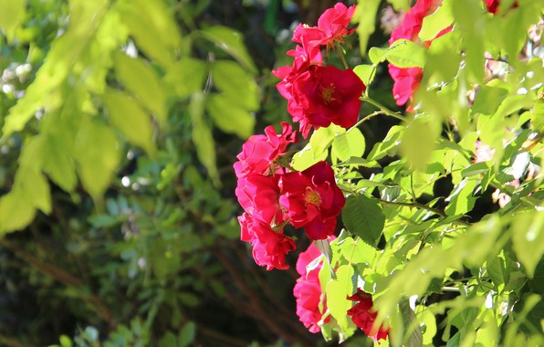 Picture greens, summer, leaves, light, flowers, branches, background, Bush, roses, briar, red, pink, flowering, rose Bush, …