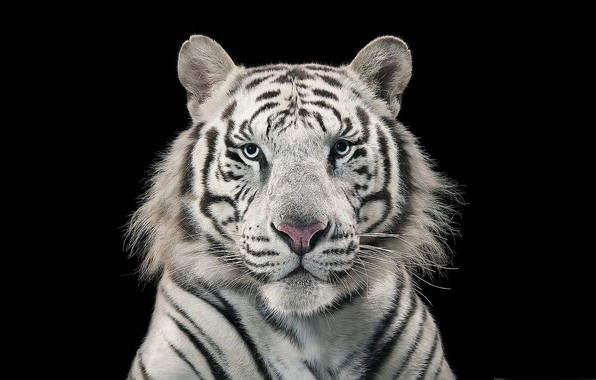 Picture white, tiger, bengal tiger