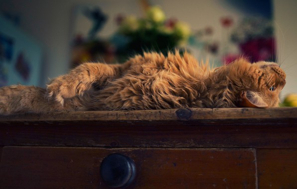 Picture cat, cat, pose, room, fluffy, red, lies, box, chest, home