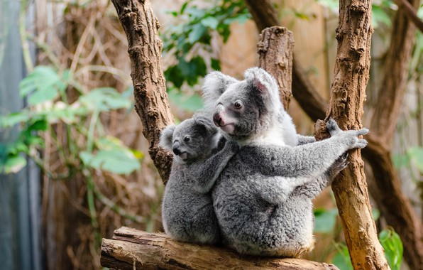 Picture look, leaves, branches, nature, background, tree, baby, cub, two, sitting, Koala, mother, cute, bears Koala