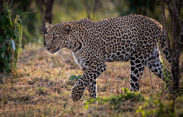Picture leopard, Africa, wild cat