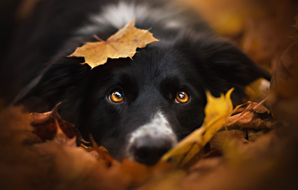 Picture autumn, look, face, leaves, leaf, dog, black, the border collie