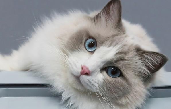 Picture cat, look, portrait, muzzle, blue eyes, Ragdoll