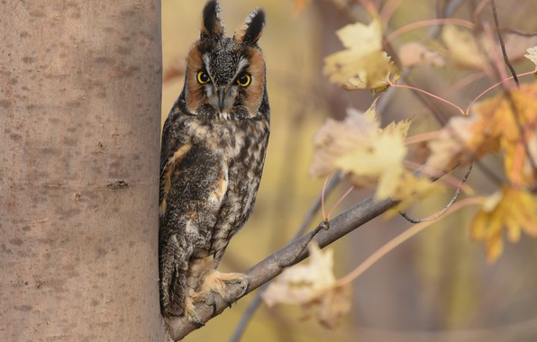 Picture autumn, leaves, tree, owl, bird, branch, Long-eared owl