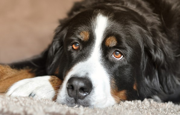 Picture eyes, look, dog, lies, Bernese Mountain Dog