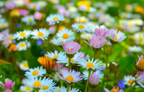 Picture Spring, Chamomile, Spring, Flowering, Flowering, Camomiles