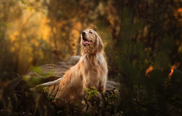 Picture autumn, forest, language, look, leaves, branches, nature, stones, thickets, dog, bokeh