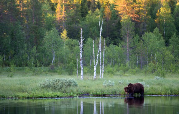 Picture forest, river, shore, bear, brown