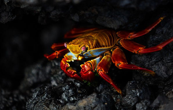 Picture look, red, the dark background, stones, shore, crab, claws