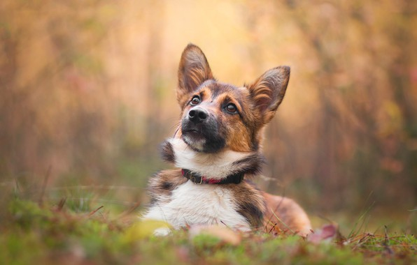 Picture autumn, face, dog, puppy, bokeh