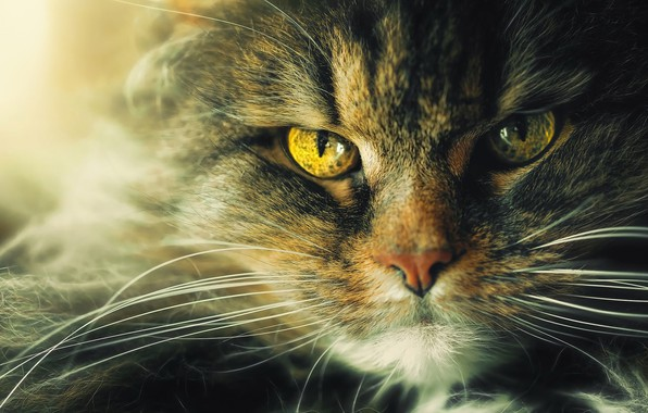 Photo wallpaper cat, eyes, cat, look, face, close-up, grey, portrait, yellow, wool, fluffy, green, evil, unhappy, striped, ...