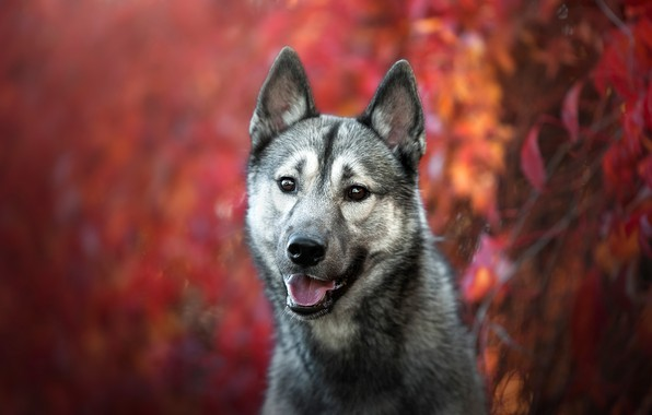 Picture autumn, language, look, face, leaves, background, wolf, portrait, dog, puppy, grey, young, dog, bokeh, teen, …