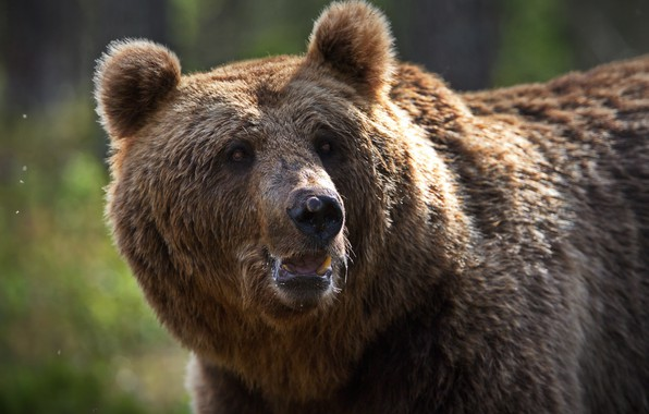 Picture face, animal, predator, bear, brown, Alexander Perov